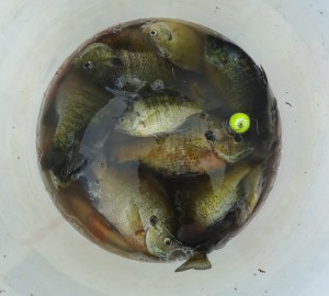 Lake_Hopatcong_State_Park_NJ_fish_in_bucket